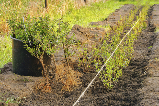 siepe sempreverde, siepi sempreverdi, siepi, siepe, piante da siepe, siepi da giardino