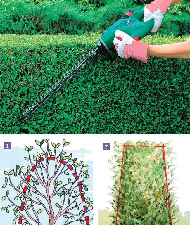 siepe sempreverde - fai da te in giardino - Siepe Da Giardino Piccolo