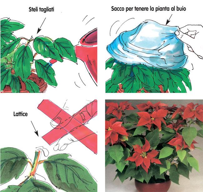 Come Mantenere Stella Di Natale.Stella Di Natale Euphorbia Pulcherrima Fai Da Te In Giardino