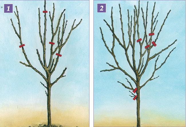 Guida agli alberi da frutto fai da te in giardino for Alberi da frutto in vaso