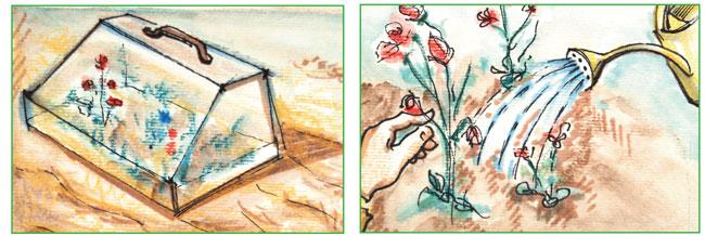 semina tagete