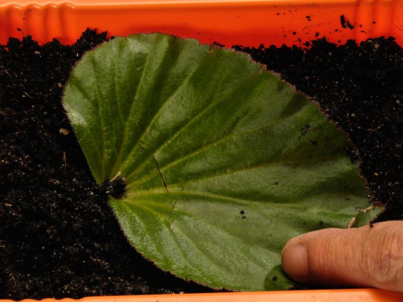 Talea fogliare come propagare una begonia partendo da una for I fiori della balsamina