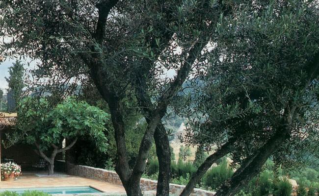 Talea olivo come si fa e periodo adatto - Siepe di ulivo ...
