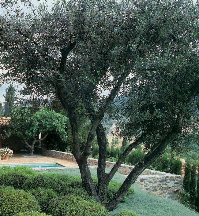 Talea olivo come si fa e periodo adatto for Aiuola con olivo