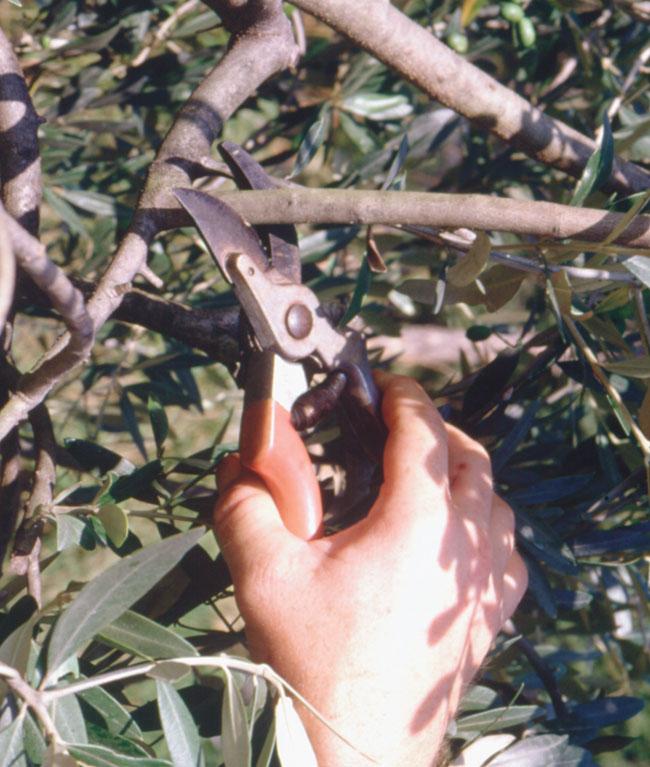 talea olivo, talea di olivo, talee di olivo, talee olivo, riproduzione per talea, talea ulivo,