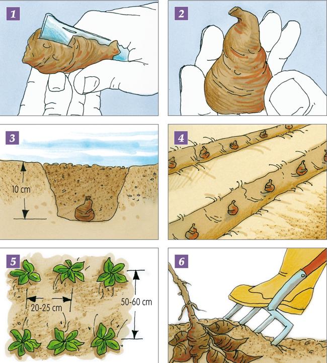 topinambur coltivazione