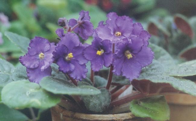 Coltivare le violette africane fai da te in giardino for Violette africane
