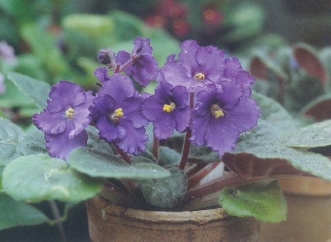 Coltivare le violette africane