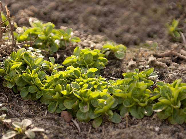 Valerianella | Come coltivarla con successo
