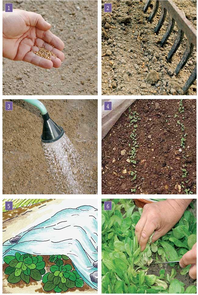 coltivare la valerianella