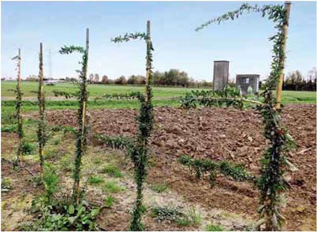 coltivare goji