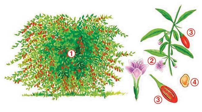 pianta del goji