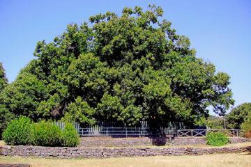 castagno-albero