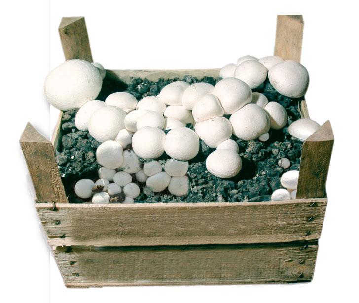 cassetta champignon