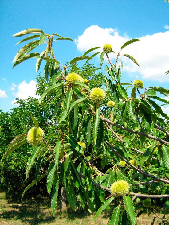 castagno-pianta