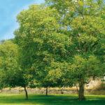 Noci: impianto dell'albero e raccolta