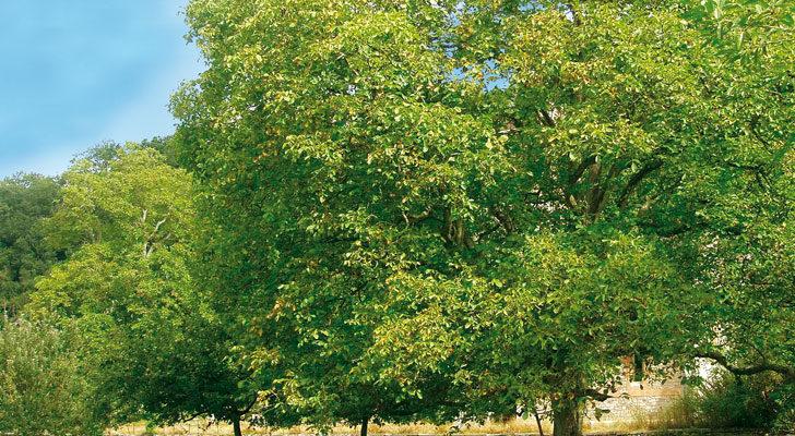 Noci impianto dell 39 albero e raccolta fai da te in giardino for Pozzo da giardino decorativo