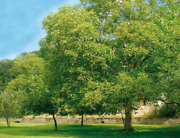 Noci impianto dell 39 albero e raccolta fai da te in giardino for Pianta di noci