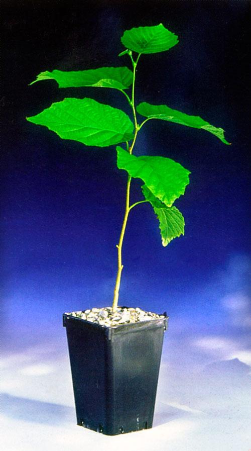 Piante Di Tartufo : Tartufo la coltivazione fai da te in giardino