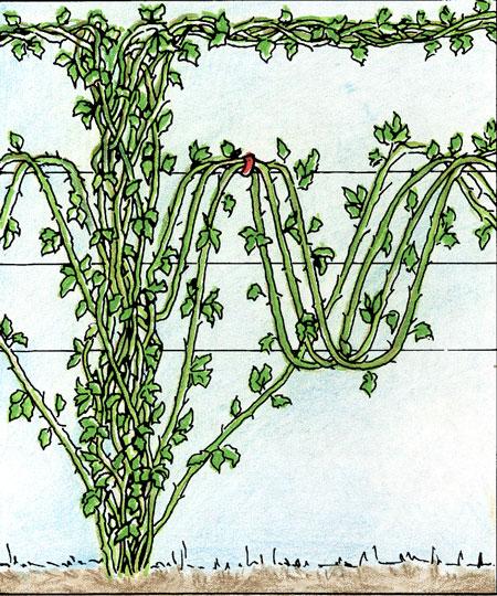 crescita-germogli