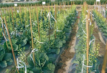 cavoli-coltivazione