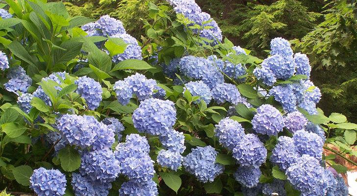 Colorare Le Ortensie Di Azzurro Fai Da Te In Giardino