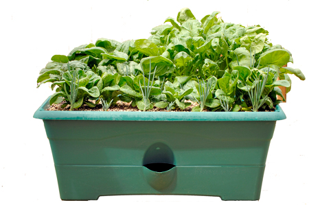 coltivare-in-vaso