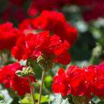 Riproduzione gerani | Come procedere passo-passo