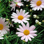 Margherite: caratteristiche e coltivazione