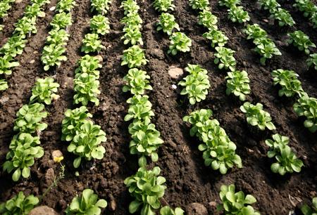 piantine-di-spinaci