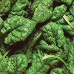 Spinaci: coltivazione e cura della pianta