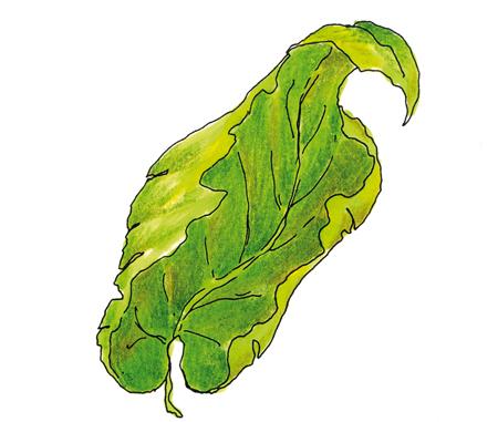 foglie-accartocciate
