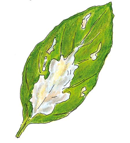 foglie-con-muffa
