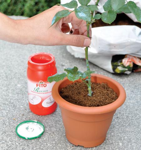 piantare-talea-di-rosa