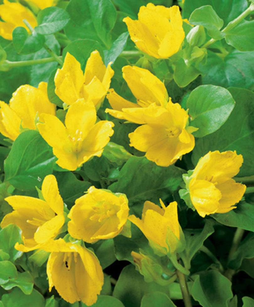 Arbusto A Fiori Gialli fiori gialli: bellissimi e diversi - fai da te in giardino