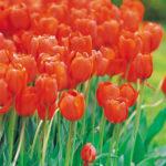 Fiori rossi: un unico colore per specie diverse