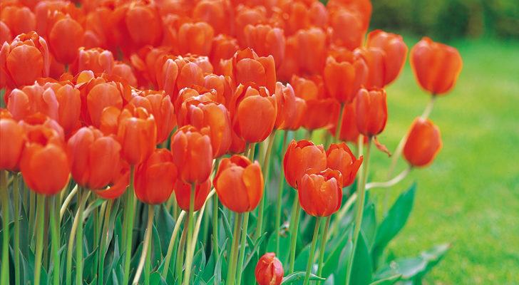 fiori-rossi