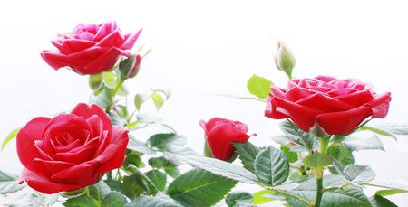 fiori-rossi-rosa
