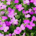 Fiori viola: tavolozza della natura