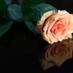 Talea di rosa: moltiplicazione semplice