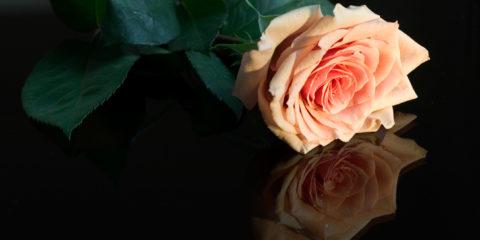 talea-di-rosa