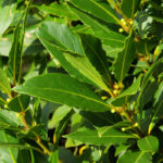 Alloro | La pianta e le proprietà
