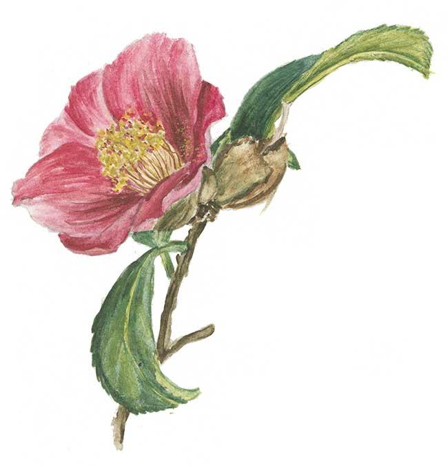 camelia japonica fiore