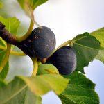 Fico | Cura della pianta, potatura e raccolta dei frutti