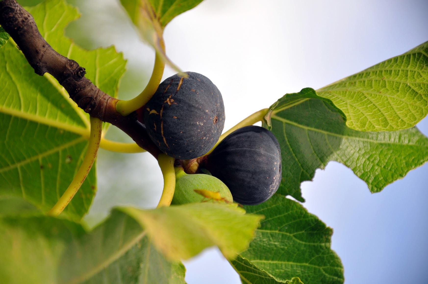 fico cura della pianta potatura e raccolta dei frutti