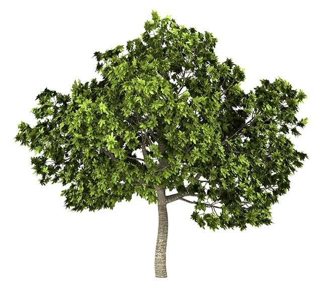 Fico cura della pianta potatura e raccolta dei frutti for Albero fico prezzo