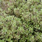 Thymus vulgaris | Timo aromatico sempreverde