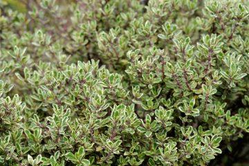 Thymus vulgaris coltivazione