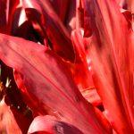 Cordyline | Come coltivarla senza sbagliare
