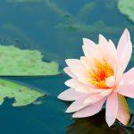 Fiore di loto | Come coltivarlo al meglio senza sbagliare
